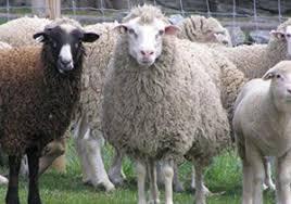 پاورپوینت اقتصاد گوسفنداری